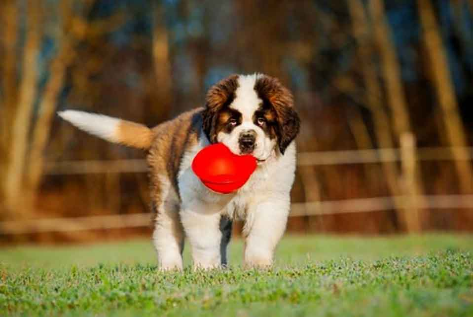 St. Bernard puppy