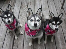 Look Like Husky
