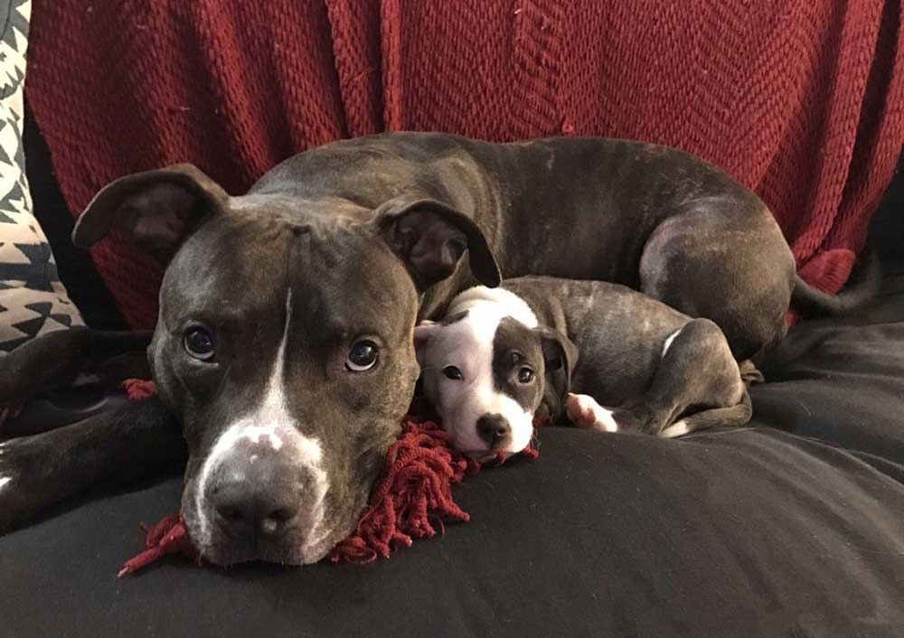 American Pit Bull Puppies puppy