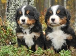 Bernese Mountain Dog puppy Puppies