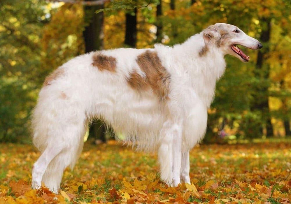 Big dog breeds Borzoi