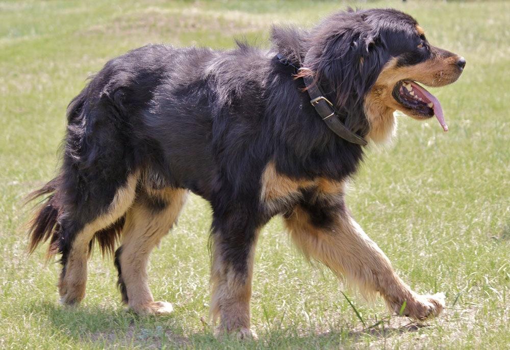 Big dog breeds Buryat-Mongolian wolfhound