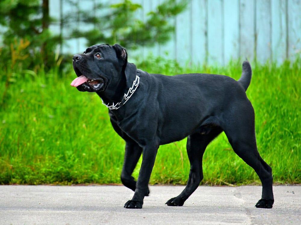 Big dog breeds Cane Corso