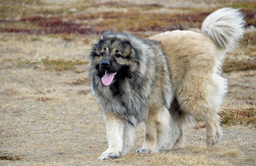 Big dog breeds Caucasian Shepherd Dog