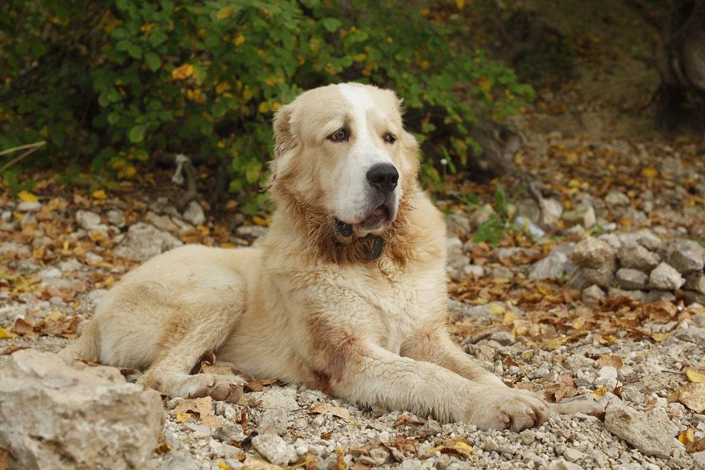 Big dog breeds Central Asian Shepherd Dog