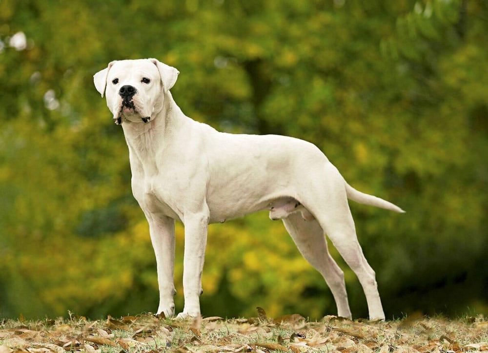 Big dog breeds Dogo Argentino