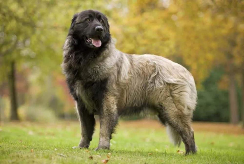 Big dog breeds Estrela Mountain Dog