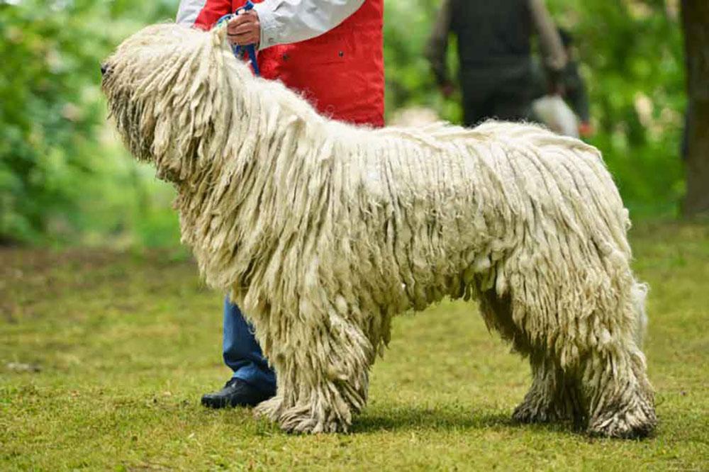 Big dog breeds Komondor