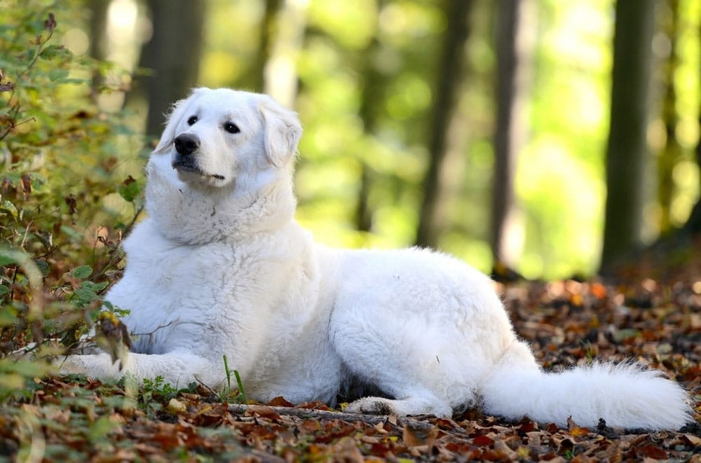 Big dog breeds Kuvasz