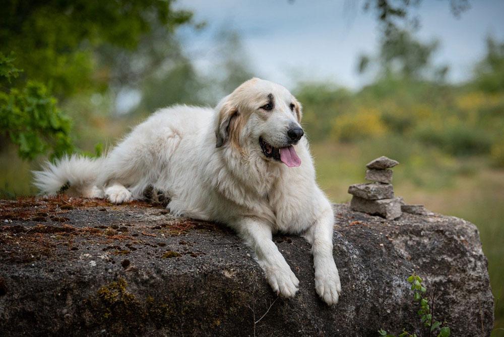 Big dog breeds Pyrenean Mountain Dog