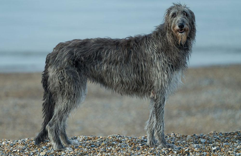 Big dog breeds Scottish Deerhound