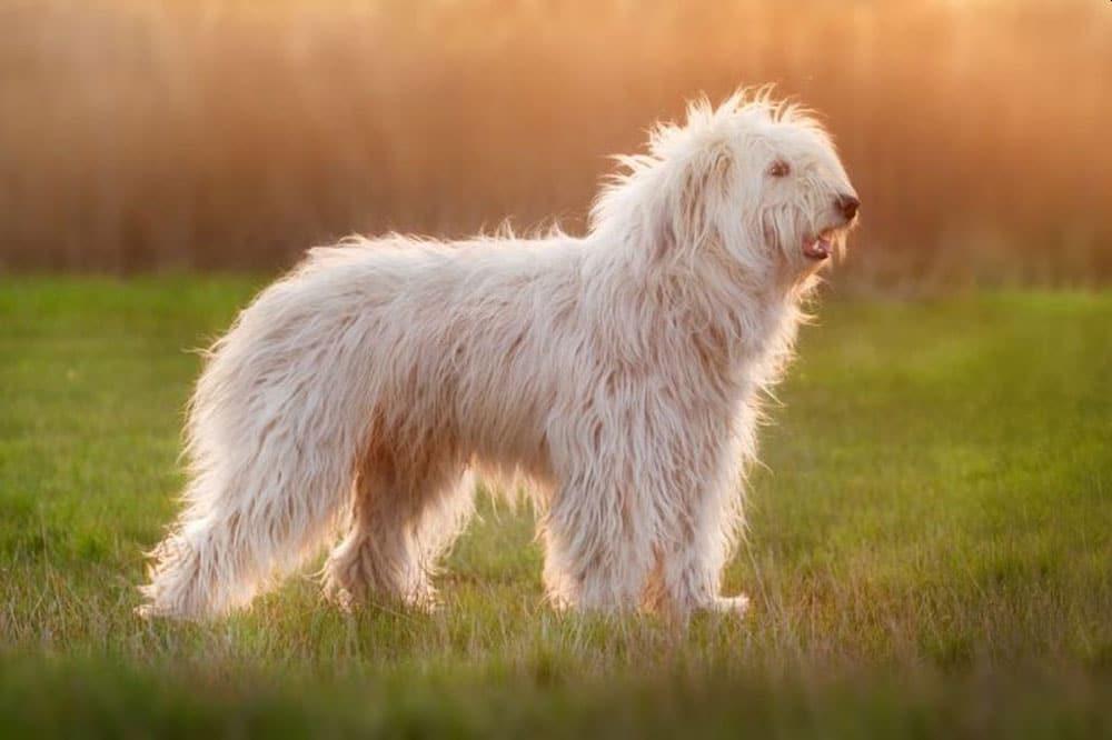 Big dog breeds South Russian Ovcharka