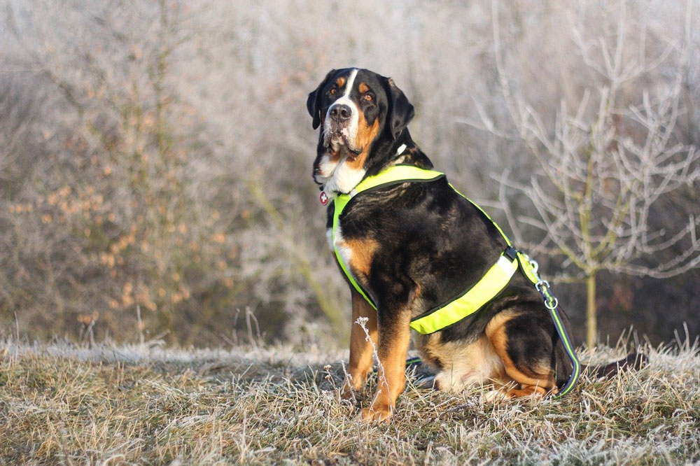 Big dog breeds The Greater Swiss Mountain Dog