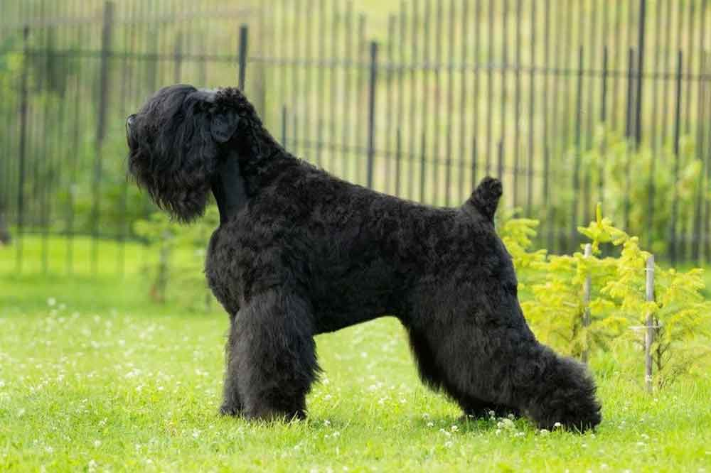 Big dog breeds Black Russian Terrier