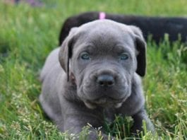 Cane Corso puppy Puppies