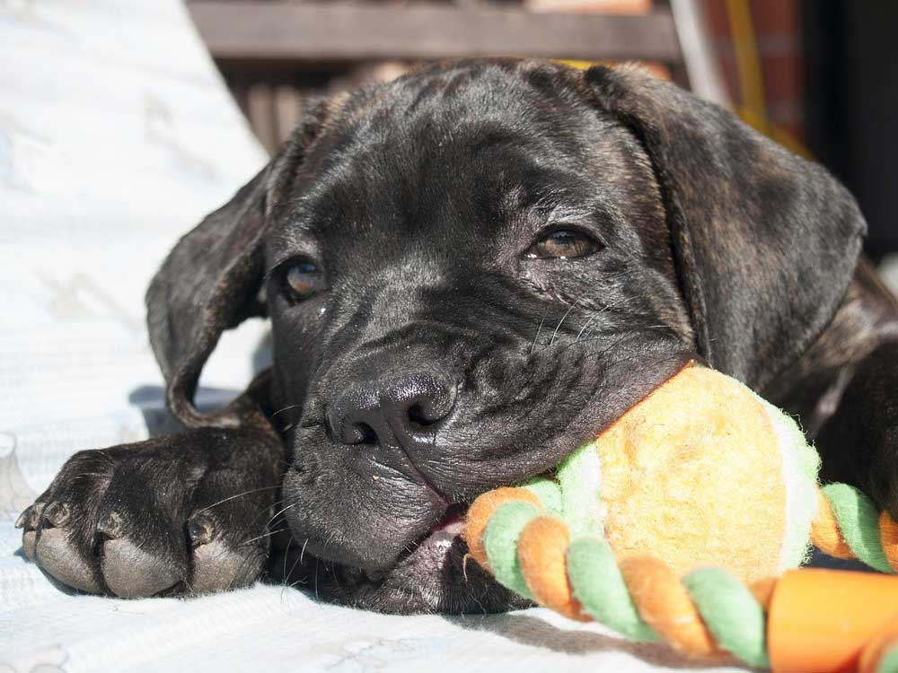 Cane Corso puppy Puppies