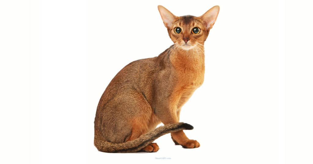 Cat Breeds Abyssinian