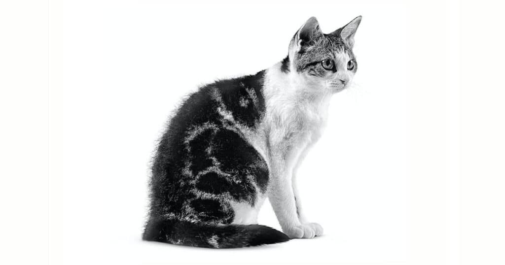 Cat Breeds American Wirehair
