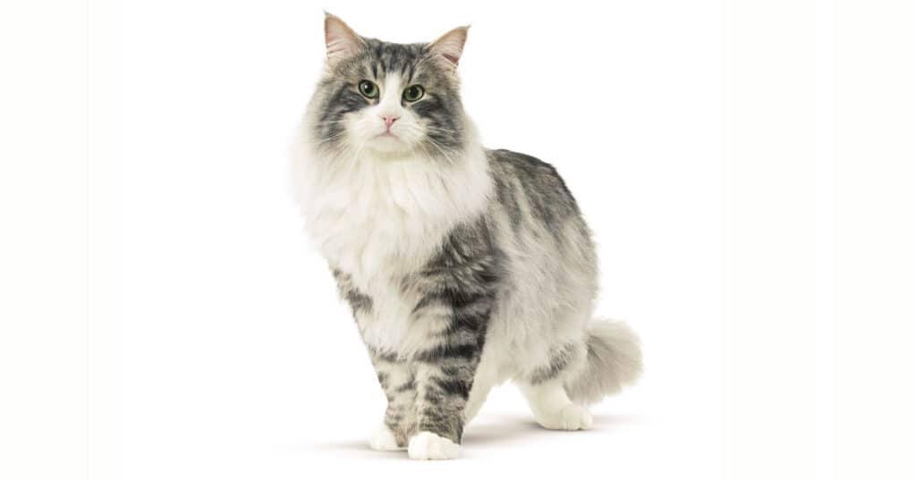 Cat Breeds Norwegian Forest Cat