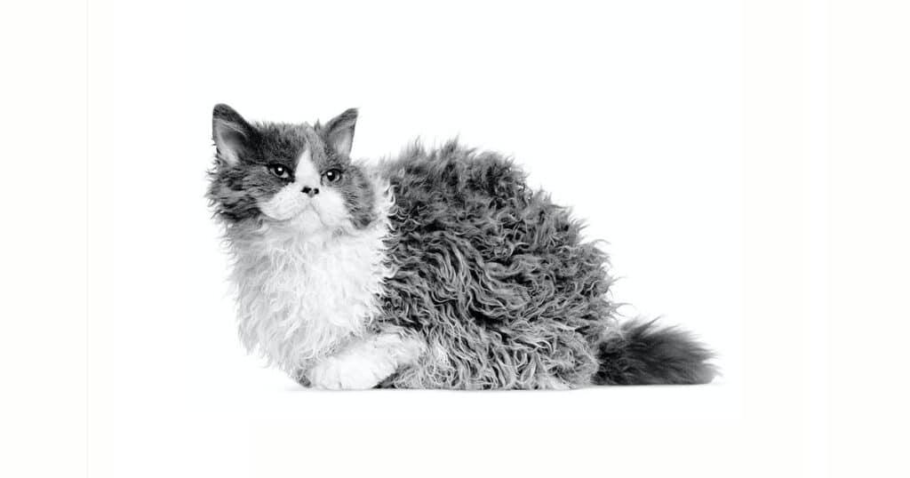 Cat Breeds Selkirk Rex