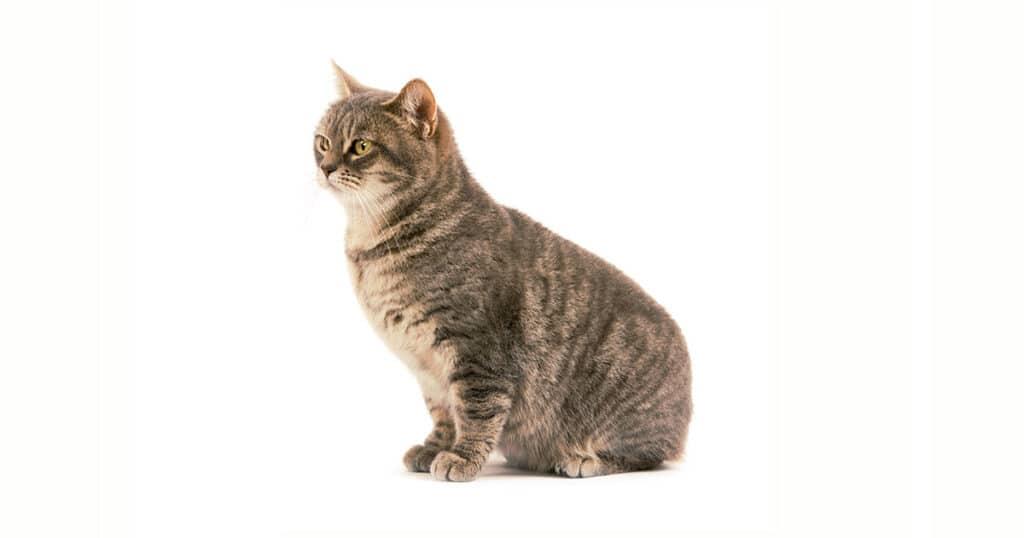 Cat Breeds Manx