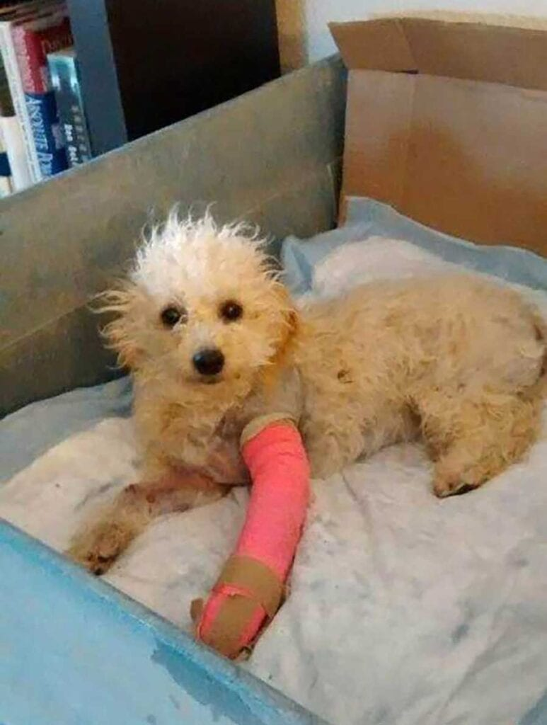 Cora poodle two legs recovery