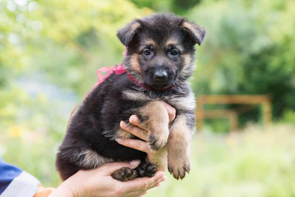 German Shepherd puppy puppies