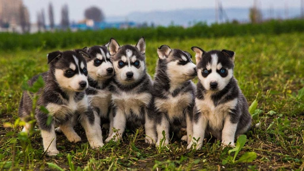 Husky puppies puppy