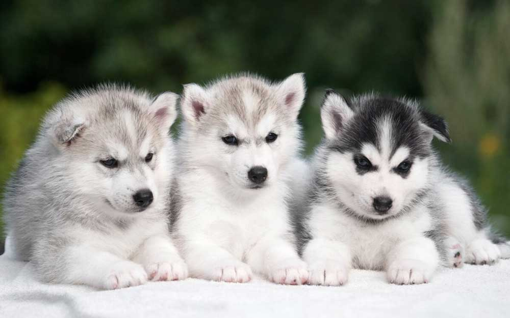 Husky puppy puppies