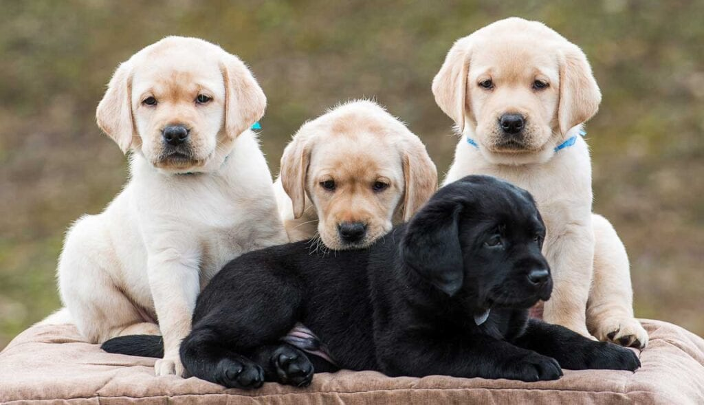 Labrador puppy puppies