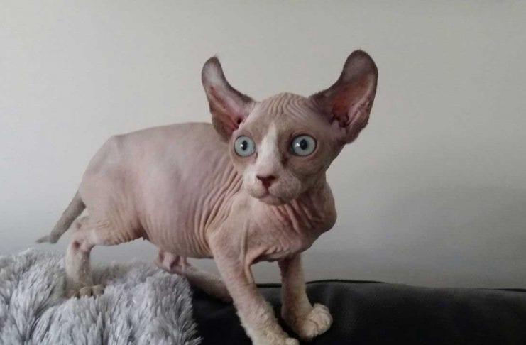 Rarest Cat Breeds