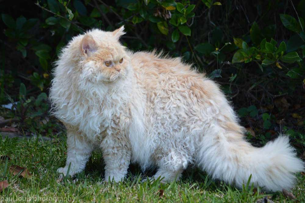 Rarest Cat Breeds Selkirk Rex