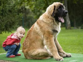 giant big dog breeds