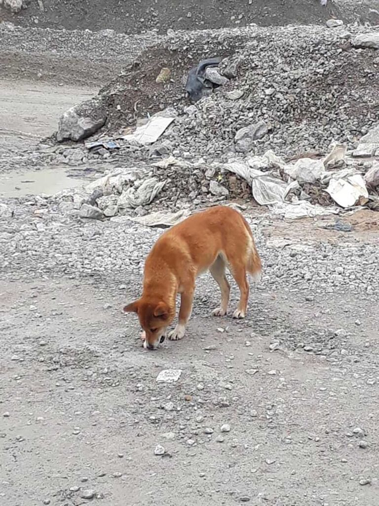old singing dog breed reappears indonesia 50 years