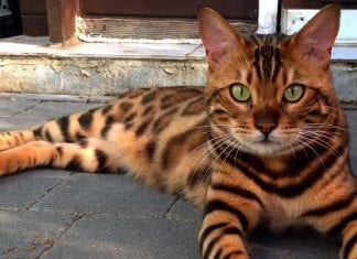 think twice before buying bengal cat