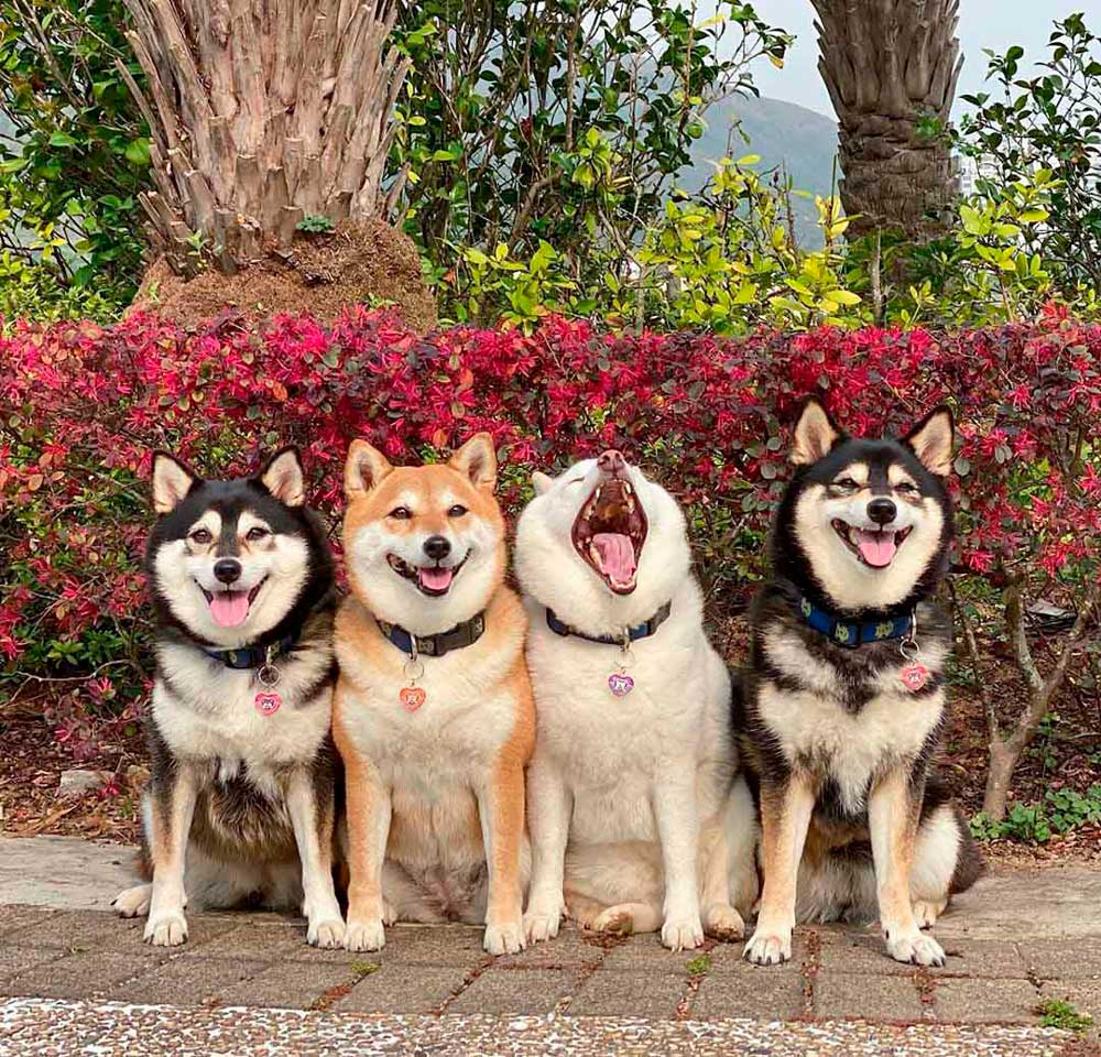 Adorable shiba inu ruining group photos