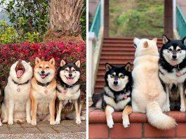 Adorable shiba inu ruining group photos