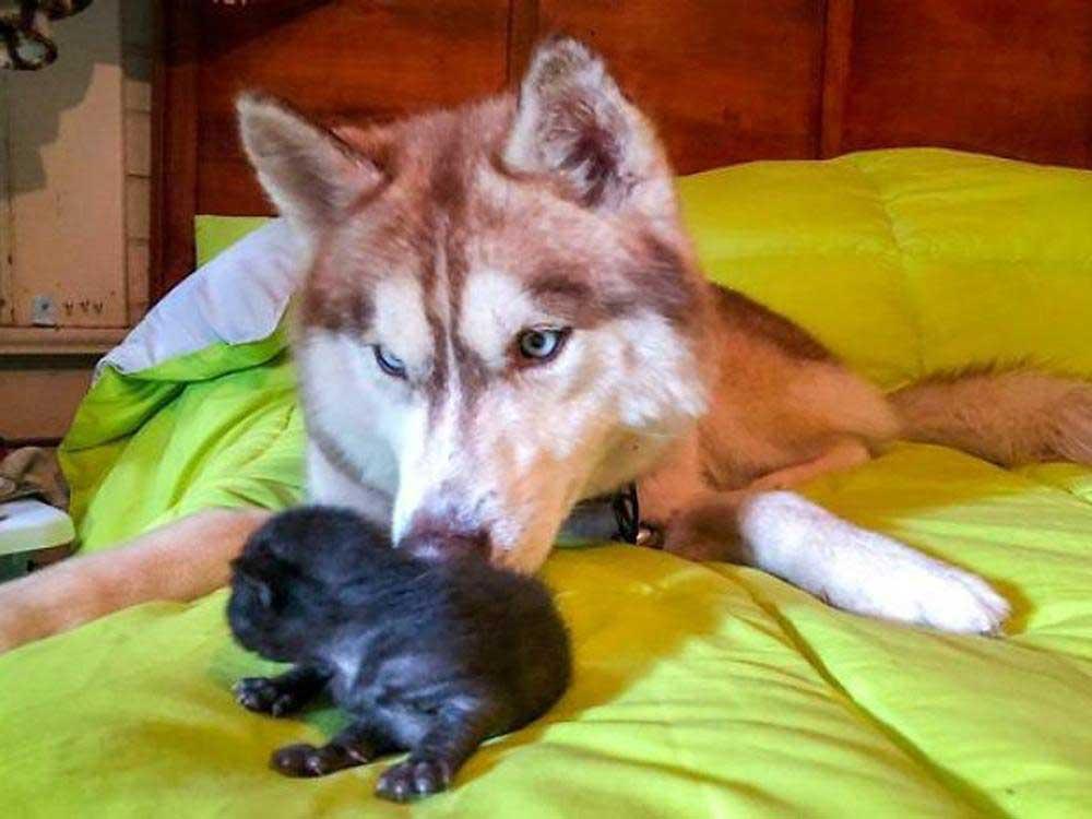 Banner husky saves abandoned kittens