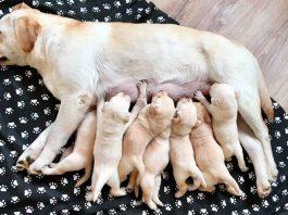 Feed Pregnant Dog