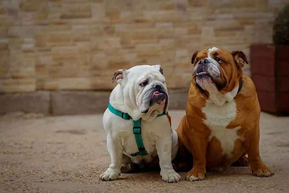 Dog Breeds Get Fat obesity English bulldog