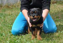 Rottweiler Training Home