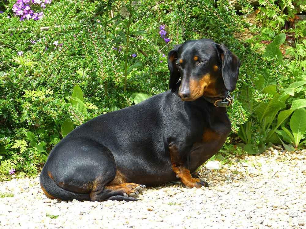 Dog Breeds Get Fat obesity Dachshund