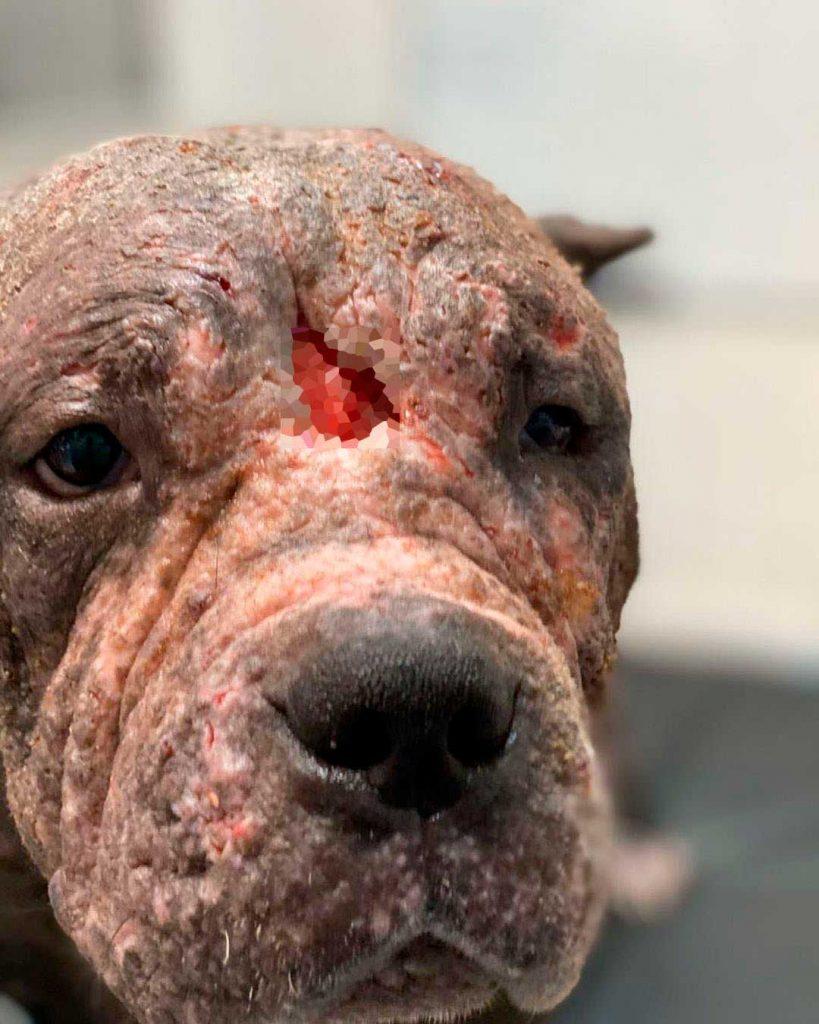 pit bull rescued Forest brazil Alessandro Desco