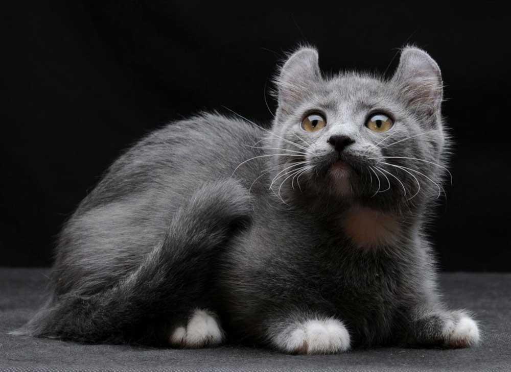 rare cat breeds Kinkalow cat