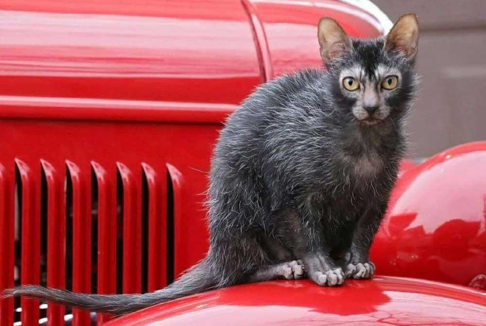 Likoy cat