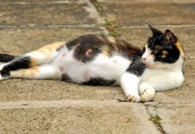 How Long Is Pregnancy In Cats