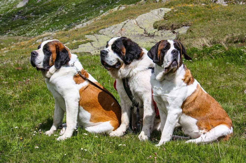 Strongest Dog St.-Bernard