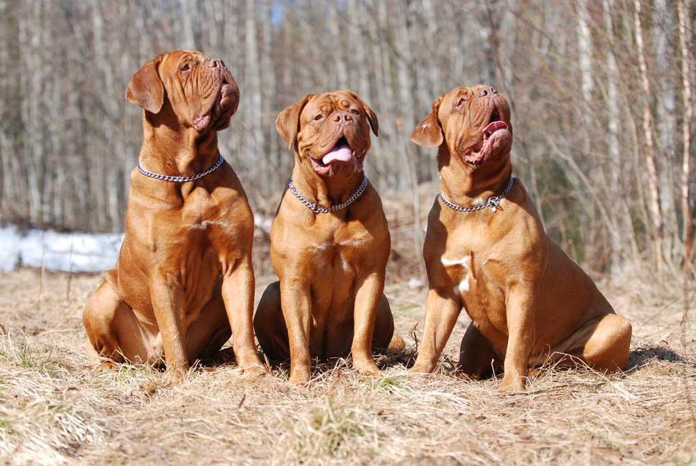 Strongest Dog Dogue-de-Bordeaux