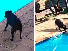 security camera catches dog saves swimming pool
