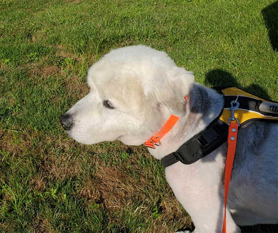 senior dog tied Heartbreaking abandoned note